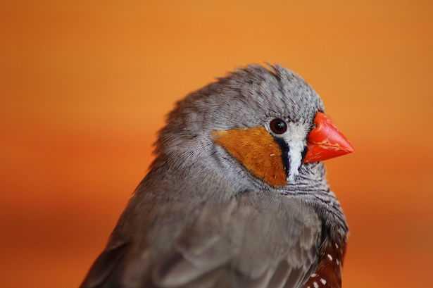 uccelli diamantini