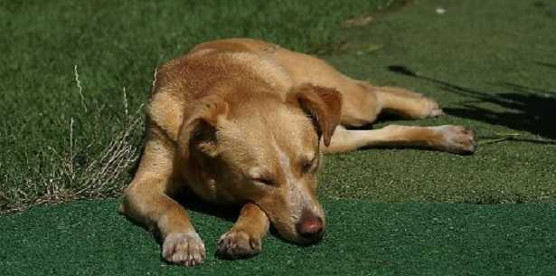 Mastite canina
