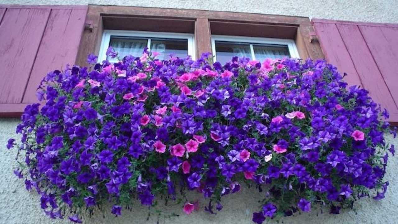 Fiori Perenni Da Balcone piante pendenti - idee green