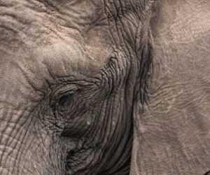 Quanto pesa un elefante