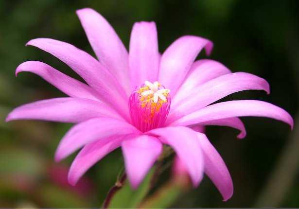 cactus di pasqua