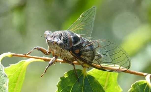 Cicala: caratteristiche fisiche e verso della cicala