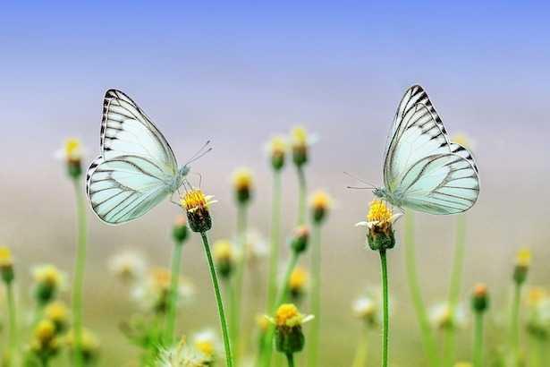cosa mangia una farfalla