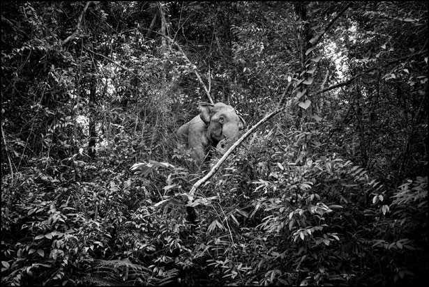elefante foresta