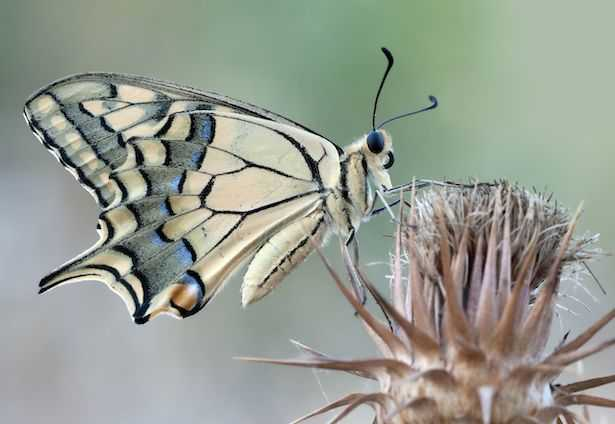 farfalle macaone