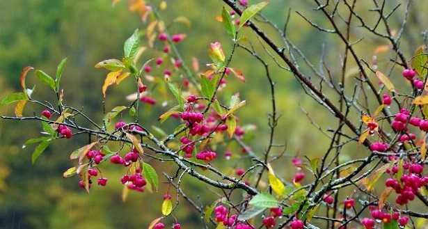 Fusaggine: caratteristiche e coltivazione