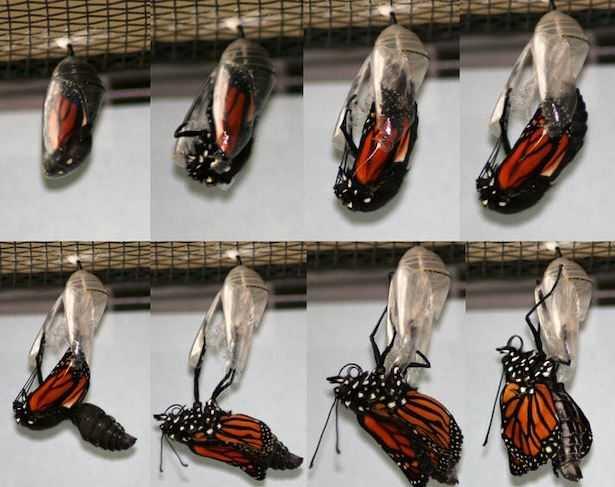 migrazione farfalla monarca