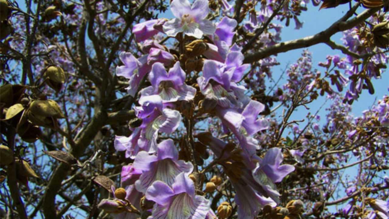 Piantare Alberi Di Paulonia paulownia: pianta e sua coltivazione - idee green