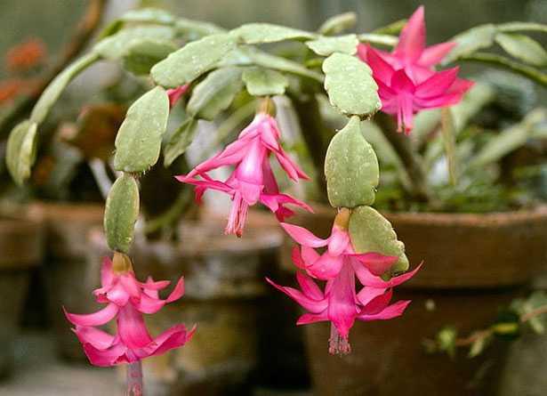 pianta Natalina