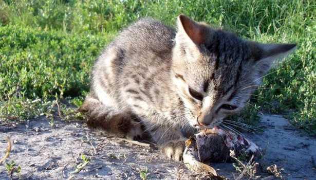 Gatto dell'isola di Giava