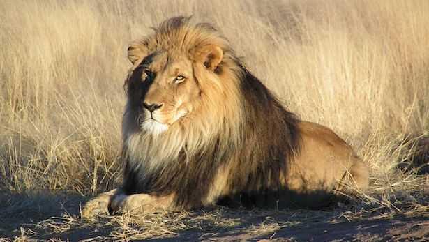 quanto vive un leone