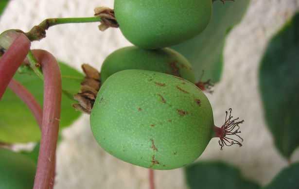 actinidia arguta mini kiwi