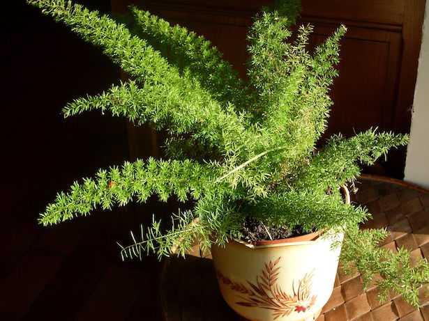 asparagina pianta