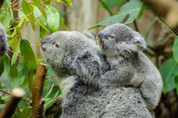I koala sono a rischio estinzione
