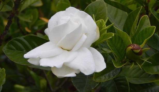 gardenie fiori