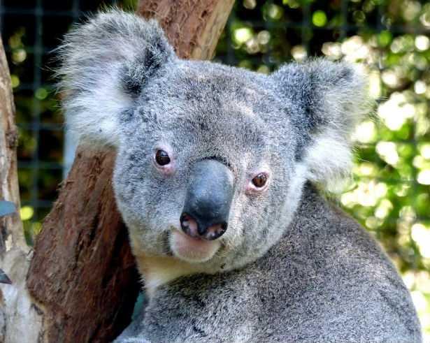 I koala sono funzionalmente estinti