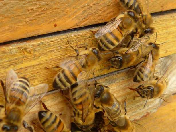 Moria delle api: le cause