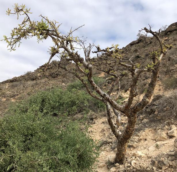 pianta di incenso Boswellia sacra