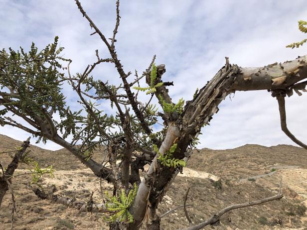 pianta di incenso in Oman