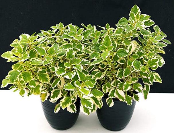 pianta incenso plectranthus