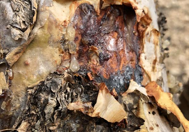 resina di Boswellia - incenso