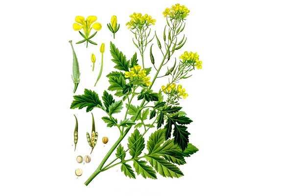 senape pianta