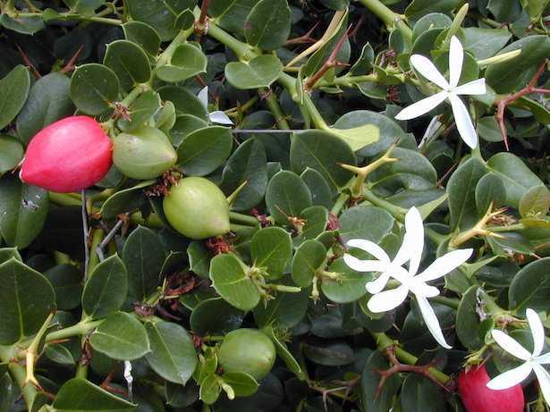 Carissa macrocarpa grandiflora