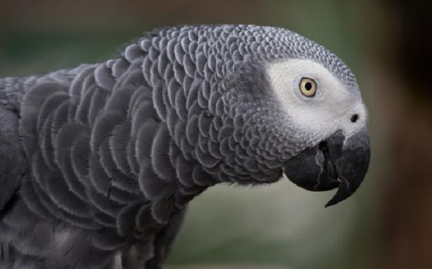 Come insegnare ad un pappagallo a parlare