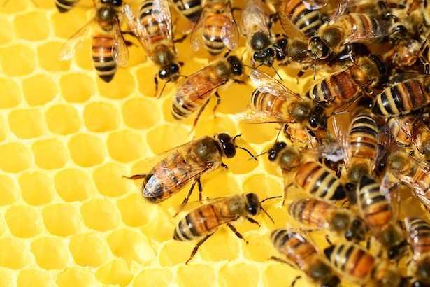 Come fanno il miele le api
