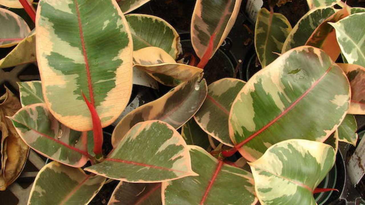 Potare Il Ficus Elastica ficus elastica - idee green