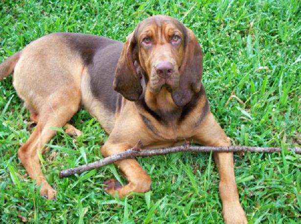 Bloodhound Chien de Saint