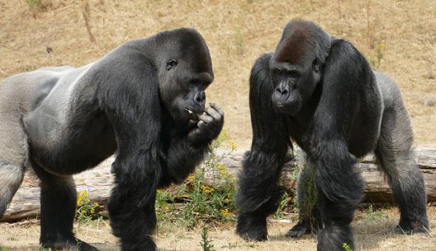 Come comunicare con un gorilla