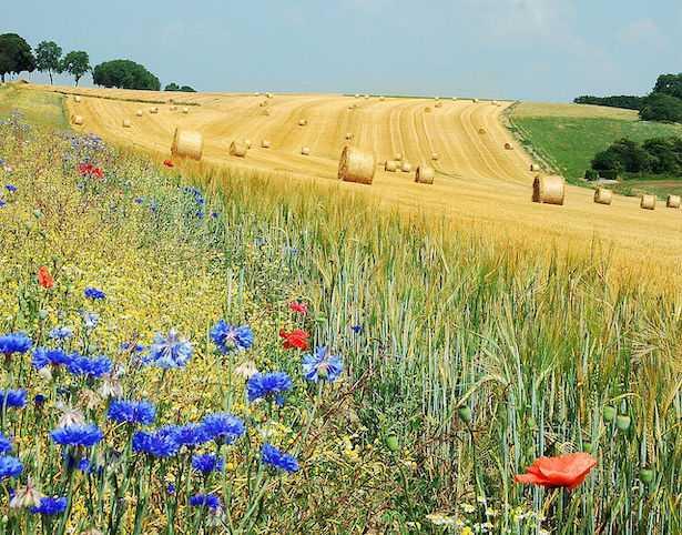 Differenza tra grano e frumento