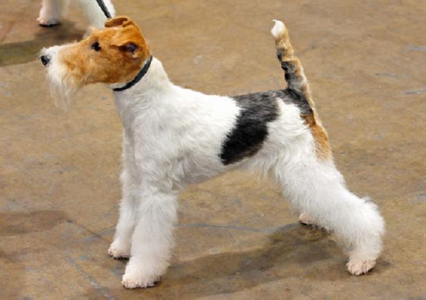 Fox Terrier a Pelo Liscio e a pelo ruvido