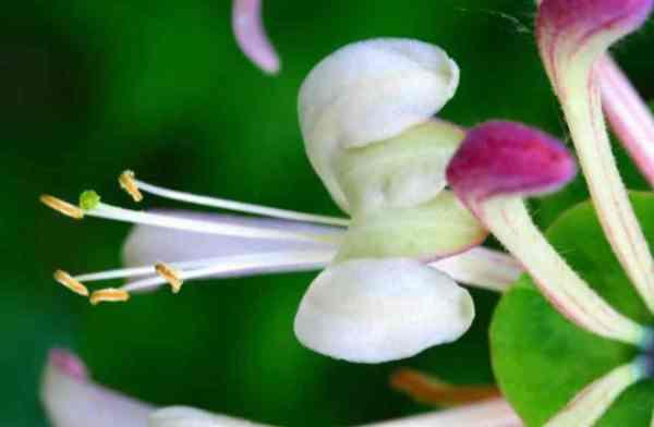 Lonicera caprifolium caprifoglio rampicante