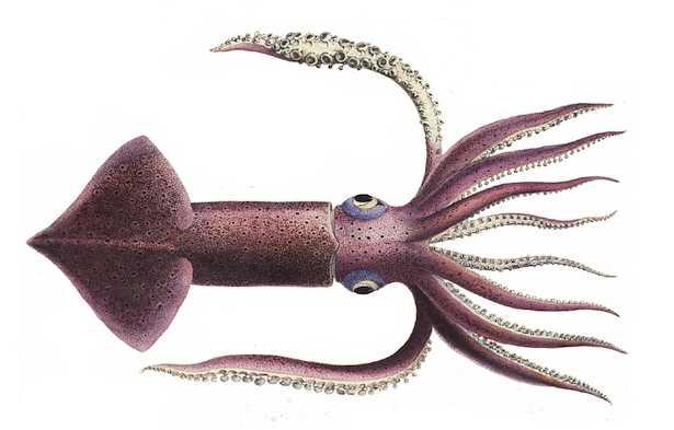 differenza tra totano e calamaro