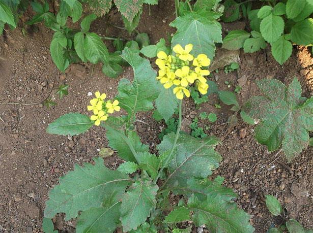 pianta senape Digione