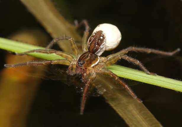 ragno acquatico ragno palombaro