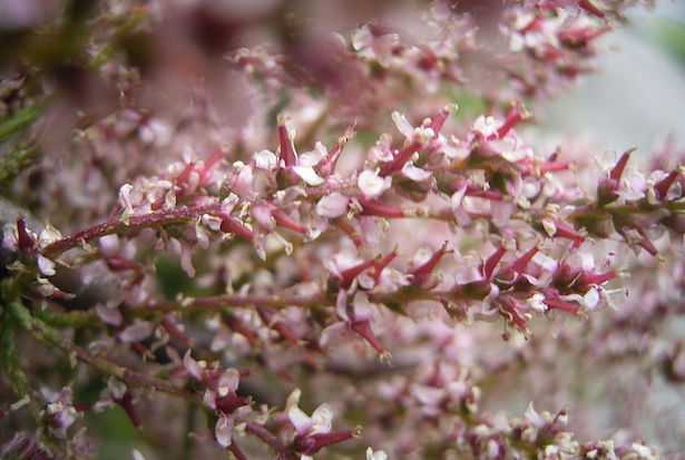 tamarice pianta