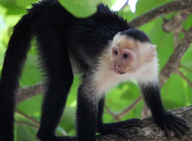 Cebus o scimmia cappuccino