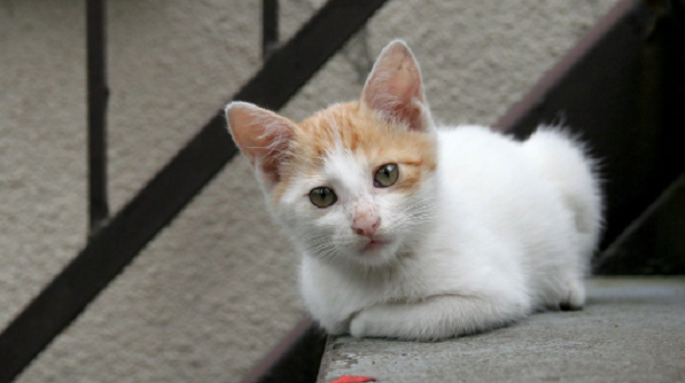 Gatto Colorpoint Shorthair