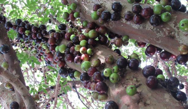 Frutti di Jabuticaba sul tronco della pianta