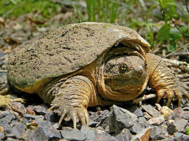 Tartaruga azzannatrice morso