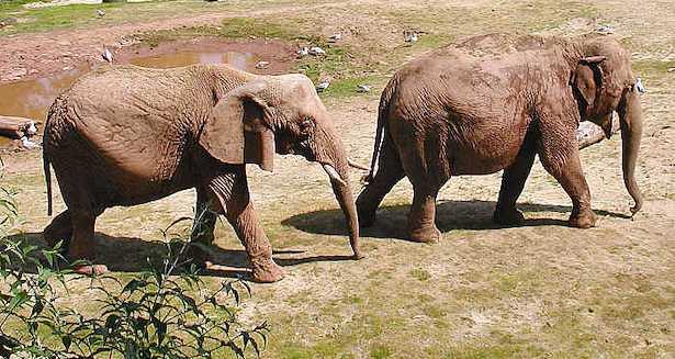 Zanne di elefante