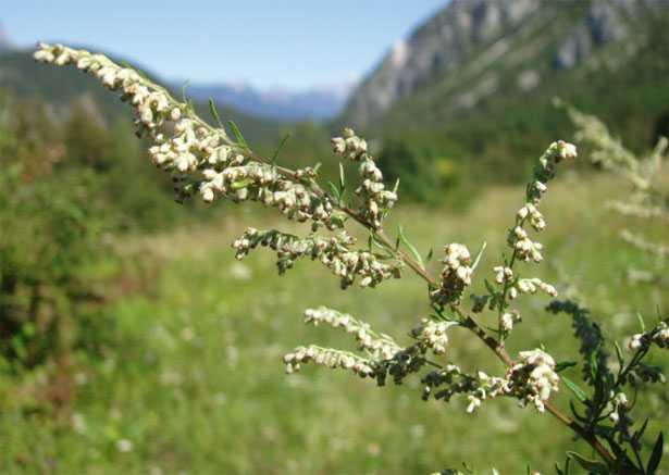 Infiorescenza di Artemisia