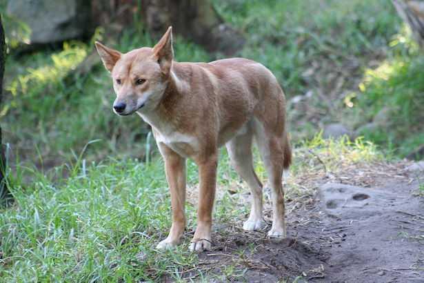 cane dingo australiano