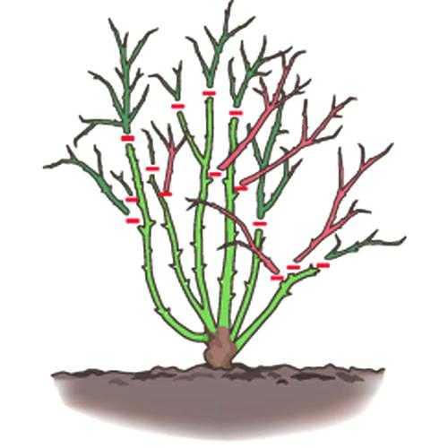 come si potano le rose potature periodo