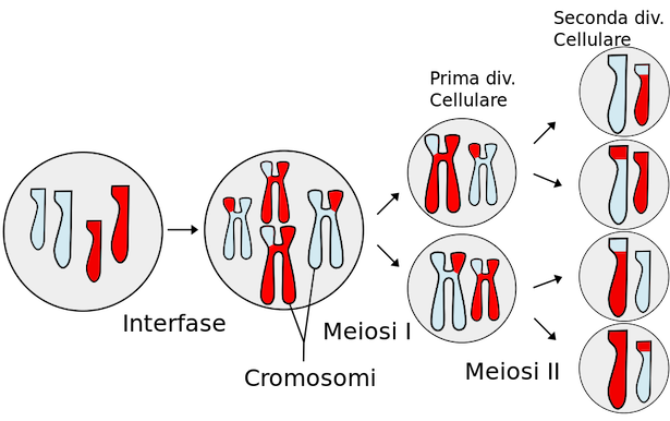 differenza tra meiosi e mitosi
