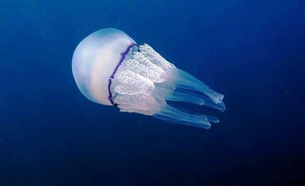 meduse adriatico