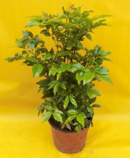 pianta jabuticaba in vaso